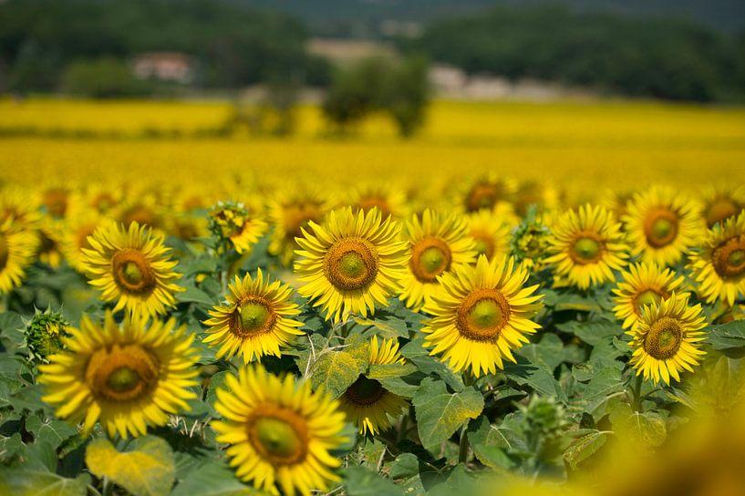 Zonnebloemen in Toscane van Ruud van der Lubben