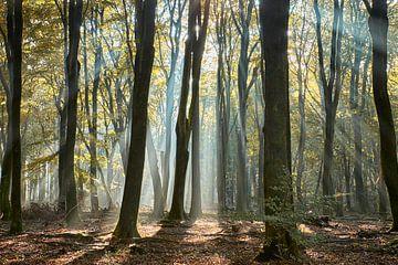 Zonnestralen in het Speulderbos van Cor de Hamer