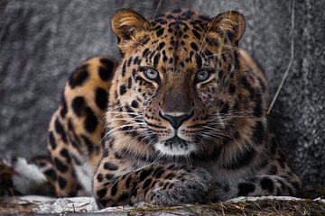 Sérieux regard brutal léopard brutal sur Michael Semenov