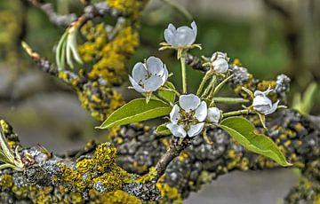 Birnenblüten von