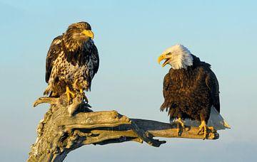Twee Amerikaanse Zeearenden van Harry Eggens