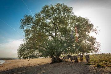 Konik-paarden onder wilgenboom van