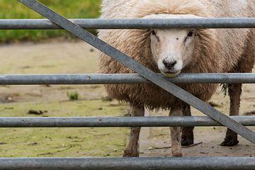 Nieuwsgierig schaap kijkt door het hek van Mirjam Welleweerd