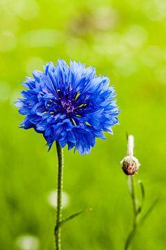 Blauwe Korenbloem von Peter en Hetty van Veen