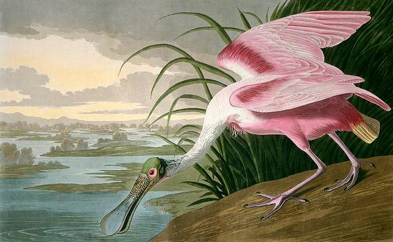 Roze lepelaar, Robert Havell naar John James Audubon van Liszt Collection