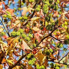 Amberboom met blauwe lucht van Frans Blok