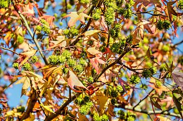 Amberboom met blauwe lucht van
