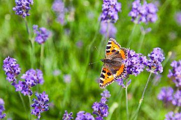 """Butterfly """"petit renard"""" dans un champ de lavande sur Evert Jan Luchies"""