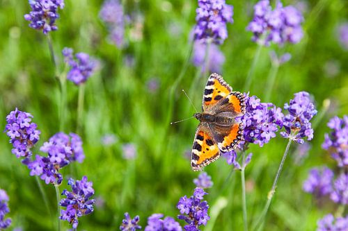 """Butterfly """"kleinen Fuchs"""" in einem Lavendelfeld von Evert Jan Luchies"""