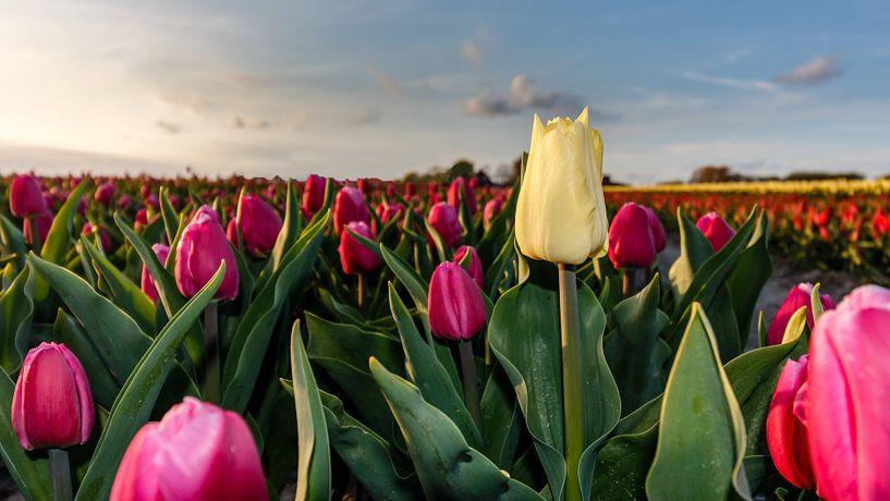 Hoge Tulpen ... van Jaap Terpstra