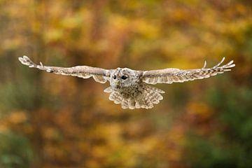 Tawny Owl in flight in front og autumn colored foliage van wunderbare Erde