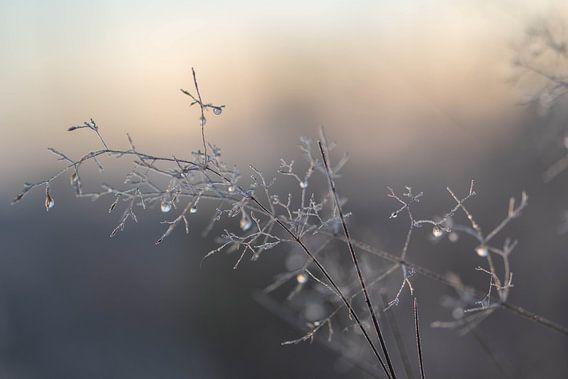 dauwdruppels in de winter