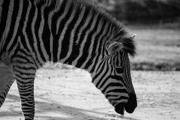 Zebra van Margo Smit