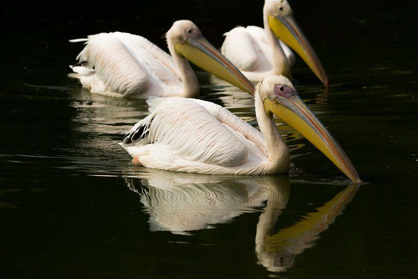 Pelikanen in Frankrijk van Patrick van Oostrom