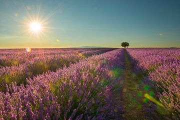 Lavendel zomerzon von Elles Rijsdijk