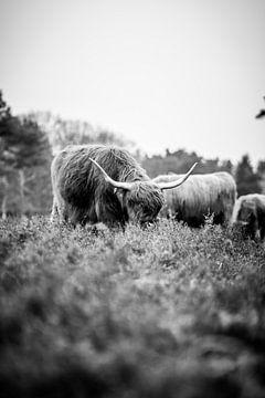Schotse Hooglander, Wezepsche Heide van S van Wezep