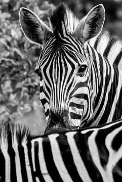 zebra von Eric van den Berg