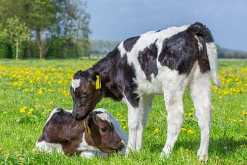 Twee pasgeboren kalfjes in Hollandse weide met paardenbloemen van Ben Schonewille