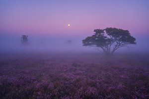 Paarse Heide Hilversum 2 van