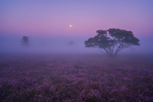 Paarse Heide Hilversum 2