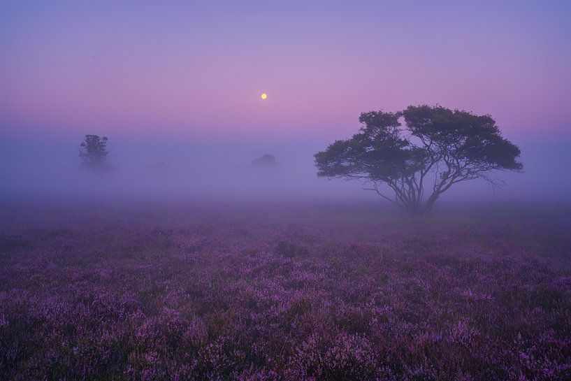 Paarse Heide Hilversum 2 van Albert Dros