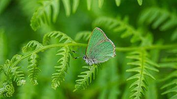 Papillon vert sur Stijn Cleynhens