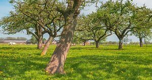 Lente in de boomgaard met oude appelbomen in een weide