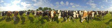 Kühe, neugierige Gesellschaft auf Terschelling von Rens Janssens