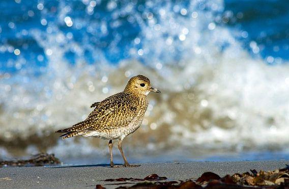 Goudplevier staand op strand van Beschermingswerk voor aan uw muur