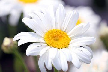 Margeritenblüte von
