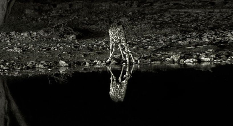 Drinking Giraffe van BL Photography