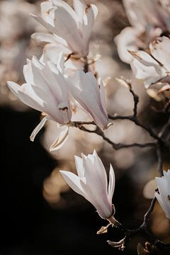 Magnolia Bloesem 2 van Isis Sturtewagen