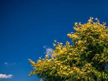 Gele Japanse Esdoorn met een helderblauwe lucht van Stefan ten Pierik