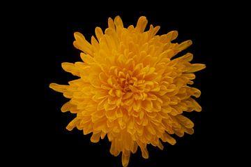Gele bloem van zippora wiese
