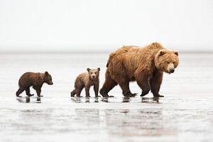 Grizzly (Ursus arctos horribilis) Mutter mit zwei einjährigen Jungtieren auf einer Sandbank bei Ebbe