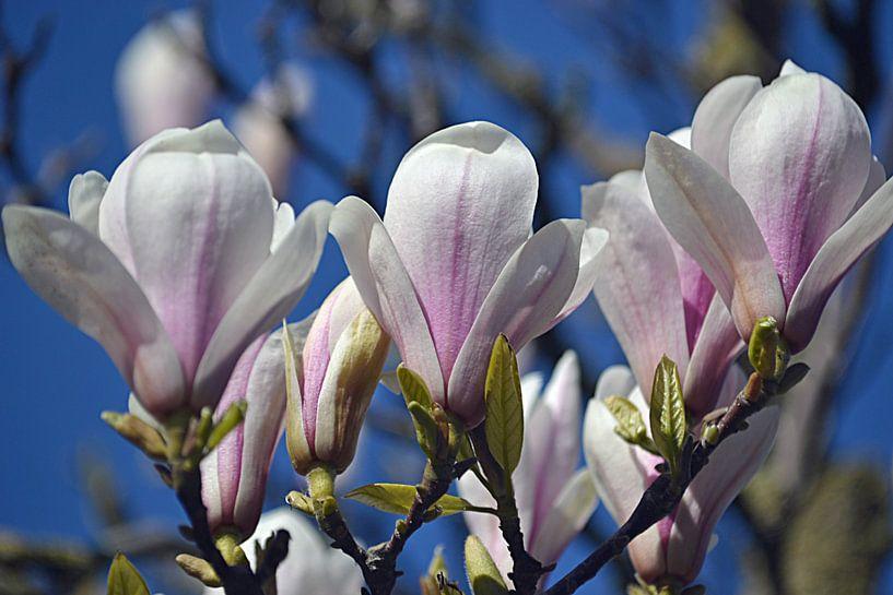 Magnolie in Blüte von JTravel