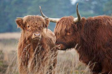 Schotse Hooglander met jong van Cor de Hamer