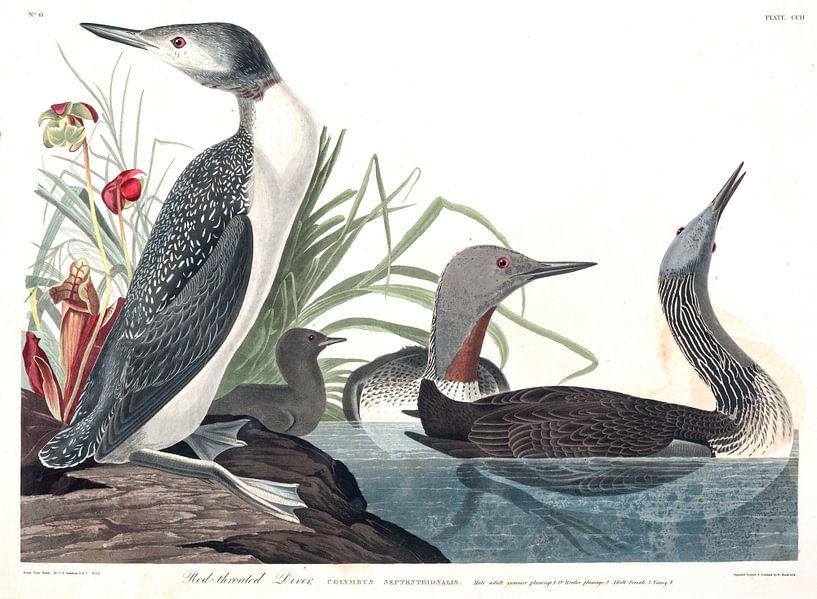 Roodkeelduiker van Birds of America