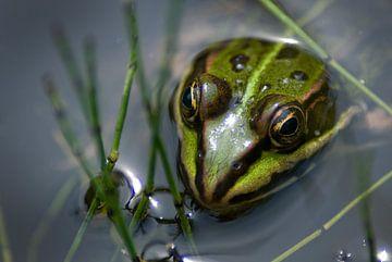 Green frog sur