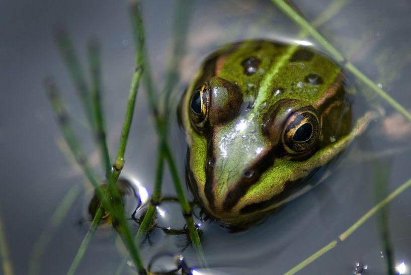Green frog van Mariska Hofman