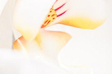 Weiße und gelbe Schmetterlingsorchidee 1 von de buurtfotograaf Leontien