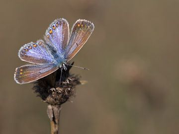 Icarusblauwtje (vrouwtje)