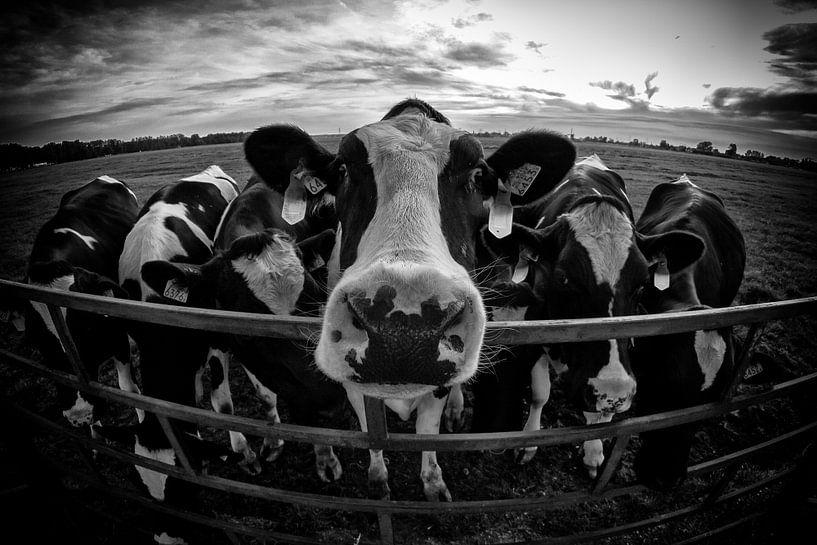 Hollandse Koeien van John Monster