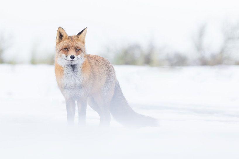 Vos in de Sneeuw van Jeffrey Haak