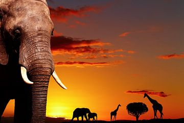 Afrikanischer Elefant bei Sonnenuntergang von Henny Hagenaars