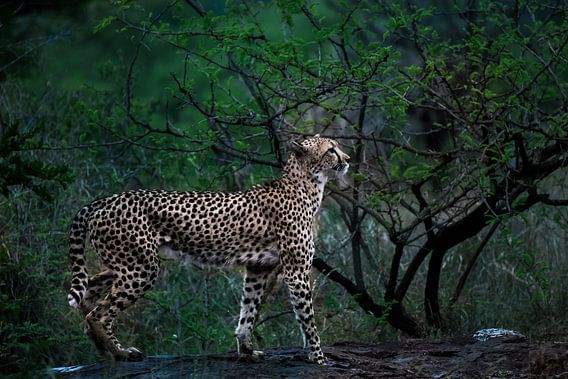 Luipaard lopend op boomstam