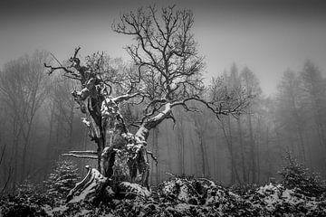 Alte Gerichtseiche in schwarz und weiss von Jürgen Schmittdiel Photography