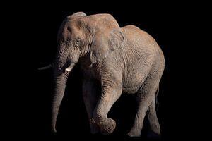 Lopende olifant op zwart van