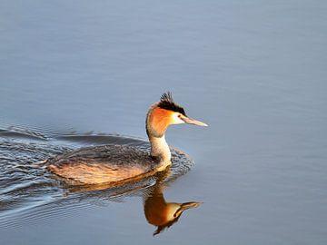 Fuut, watervogel van Ronald Smits