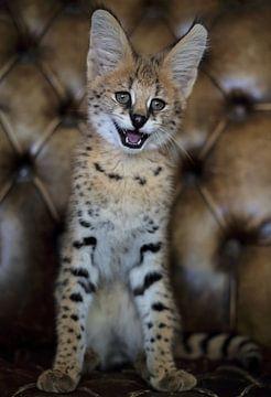 Serval kat van MSP Canvas
